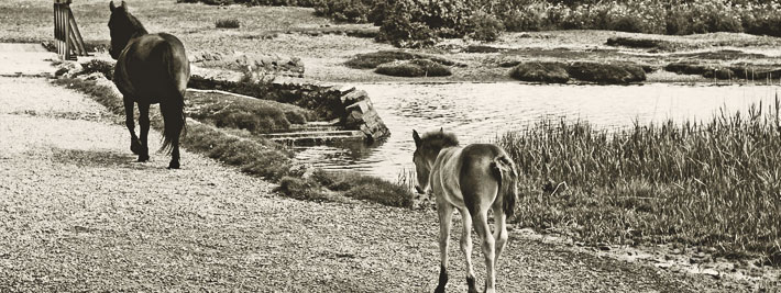 image of mare and foal - Stanpit Marsh ponies